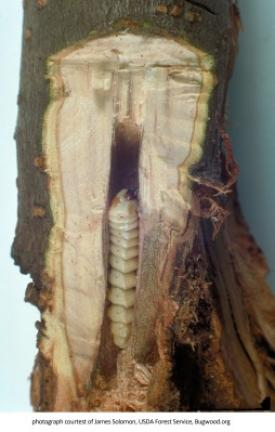 Roundheaded apple tree borer. CONTRIBUTED PHOTO