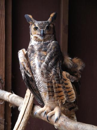 AL ZAGOFSKY/SPECIAL TO THE TIMES NEWS A male Great Horned Owl on a perch at the Carbon County Environmental Education Center. The Center keeps only injured animals that can't be returned to the wild. Because of their injuries and confinement, these…