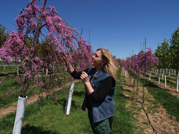 AL ZAGOFSKY/SPECIAL TO THE TIMES NEWS Patti Borger of the Borger Farm wholesale tree nursery in Lehighton examines a row of lavender red buds as they flower in the spring.