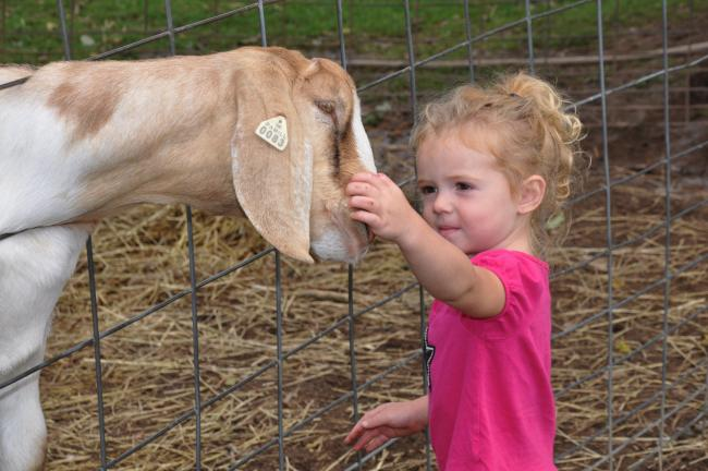 Mollie Jo Keller, 3, of Lansford, pets Samson the goat, a resident of Troxell's Pumpkin Patch in Lehighton.