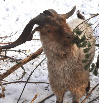 DONALD R. SERFASS/TIMES NEWS An Angora buck nibbles evergreen branches at the Holly Road Fiber Farm, Barnesville.