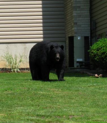 CARLA BINDER/SPECIAL TO THE TIMES NEWS A mama bear and two cubs paid a daytime visit to the 100 block of Edgemont Avenue in Palmerton on May 31.