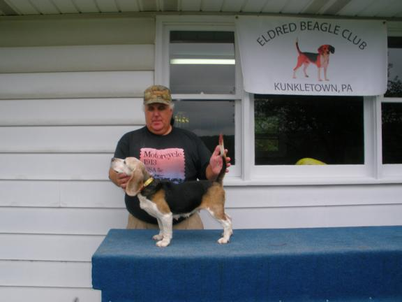 """Walters' Little Online Lucy,"" handled by Tom Walters was the Eldred Beagle Club Absolute Run, Consistency Winner and 13-inch Class Fun Trail Run-off winner."