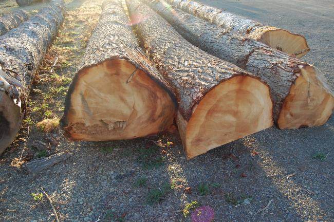 These better-than-two-foot diameter logs await the saw.