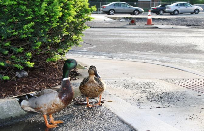 In addition to their usual appearances at parking lots and along the banks of the Little Schuylkill River, Tamaqua's ducks have grown bold in recent days and are often seen waddling across busy roads. Caring citizens, aware of the danger, routinely…