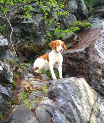 ANDREW LEIBENGUTH/TIMES NEWS A wet Brittany Spaniel looks down from a rocky cliff along SR309 in Kline Township as McAdoo firefighters set up their ladder truck for a rescue.
