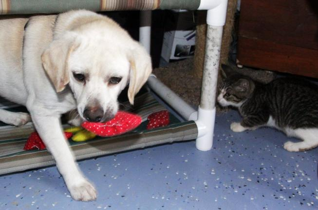 ANDREW LEIBENGUTH/TIMES NEWS A kitten watches as Oliver, the shelter's dog mascot, snatches up a catnip pillow.