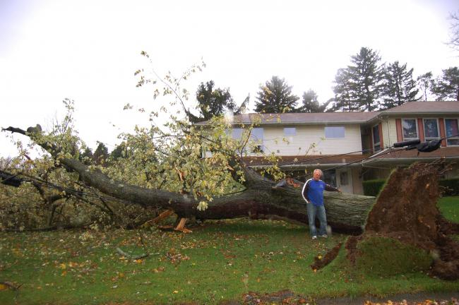 GAIL MAHOLICK/TIMES NEWS Larry Markley of 238 Indian Hill Road, Franklin Township, measured the maple tree which fell following high winds from Hurricane Sandy on Monday night. The tree is 11 feet, three inches in circumference.
