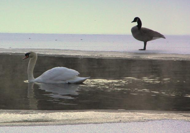 ANDREW LEIBENGUTH/TIMES NEWS Cold, yet tranquil A swan glides past a goose while paddling in a body of water along Pine Creek in Rush Township, located adjacent to Pine Creek Drive (SR54).