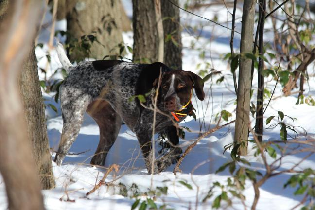 PHOTOS BY TAYLOR GARDINER/SPECIAL TO THE TIMES NEWS Bella stalks a quail. The German Shorthaired Pointer is owned by Tim Gardner