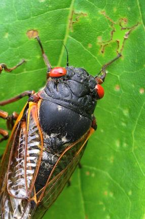 AP PHOTO This photo provided by the University of Connecticut, shows a cicada in Pipestem State Park in West Virginia on May 27, 2003. Any day now, cicadas with bulging red eyes will creep out of the ground after 17 years and overrun the East Coast…