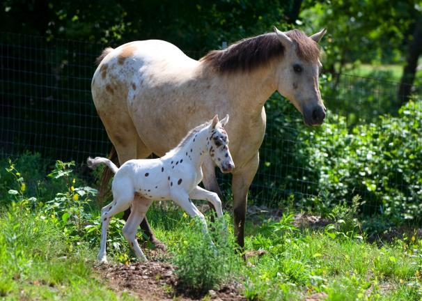 Misty, an Appaloosa, walks with her newborn colt Monday morning on Donald Dorward's Franklin Township farm. The colt, yet unnamed, had a rough start to life, but after a lot of TLC from the Dorwards and a few visits from the vet, he seems to be…
