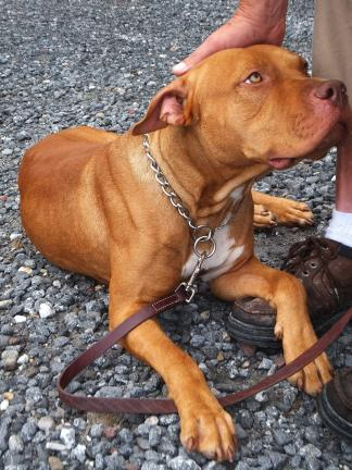 "STACEY SOLT/TIMES NEWS ""Ranger,"" a pit bull mix, was found tied to a tree in Hickory Run State Park on Thursday. He is now at the Carbon County Animal Shelter."