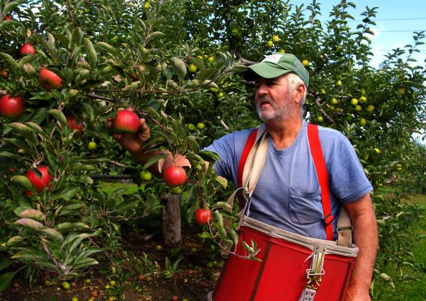 TIMES NEWS FILE PHOTO Richard Graver, owner of Graver's Orchard in Lehighton, is shown picking apples from his farm. Graver is one of the many area farmers who grow and sell their produce locally.