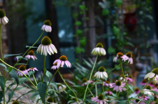 This July 11, 2017 photo shows Purple Coneflowers in a front yard garden in Dallas, Texas. When taking photos in your garden, of your landscaping or in the natural world, elements like shutter speed, light, composition and lens choice can all work…